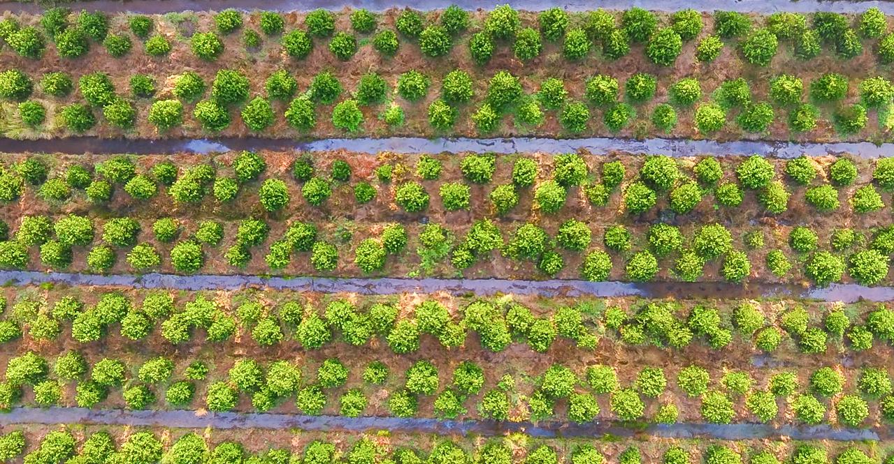 Mr. Nguyen Van Hien's 150 hectares lime farm