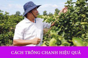 Kinh nghiệm trồng Chanh nhiều quả nhất