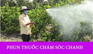 Phun thuốc phòng trừ sau bệnh cho Chanh